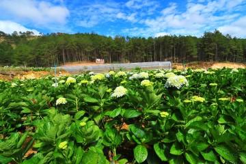 Địa chỉ cánh đồng hoa Cẩm Tú Cầu đang gây sốt Đà Lạt.