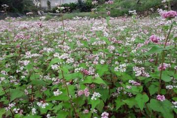 Phát hiện vườn hoa tam giác mạch đẹp mê hồn giữa trung tâm Đà Lạt.