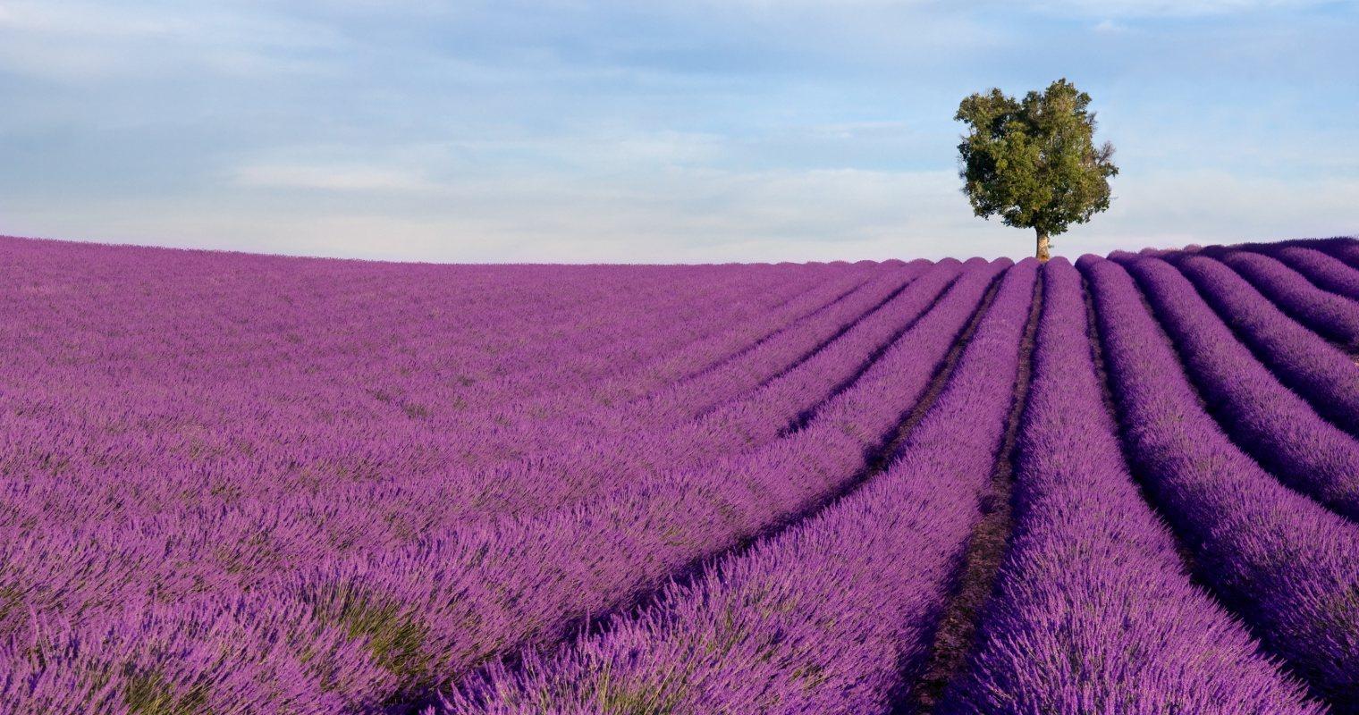 Kết quả hình ảnh cho mùa hoa lavender tại đà lạt